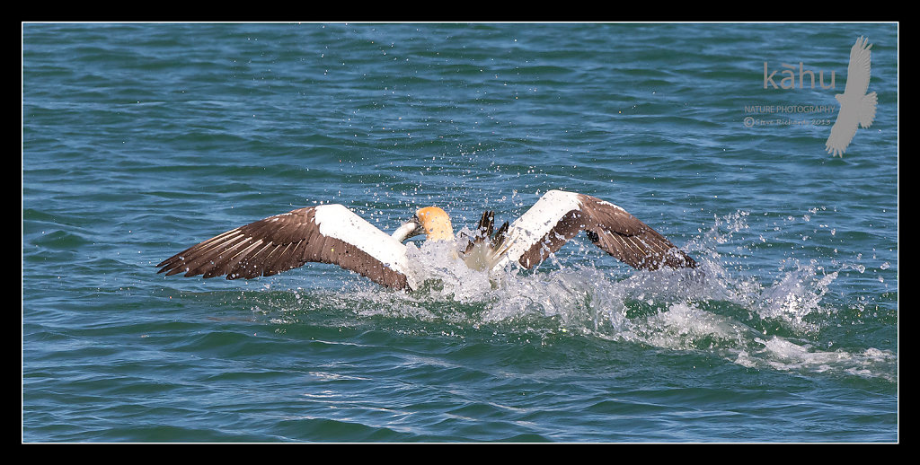 Gannet with a yellowtail, Tutukaka,  SB178