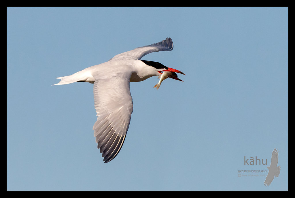 Caspian Tern returns with a fish for its chick  CT12