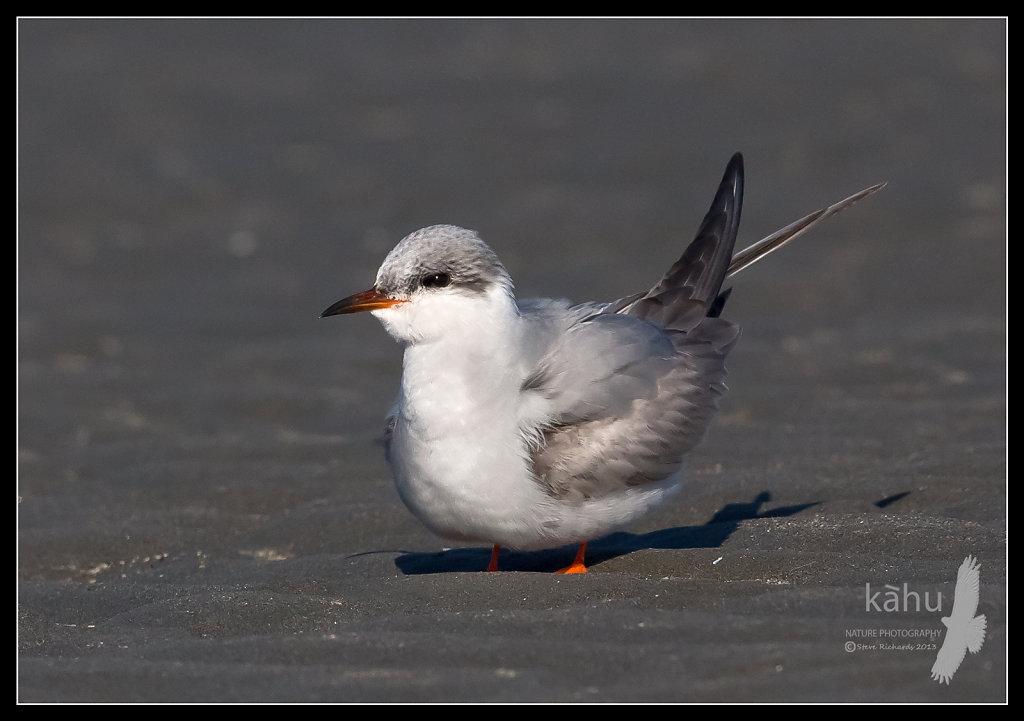 An immature Black Fronted Tern, a rare visitor to Waikanae Estuary   SB185