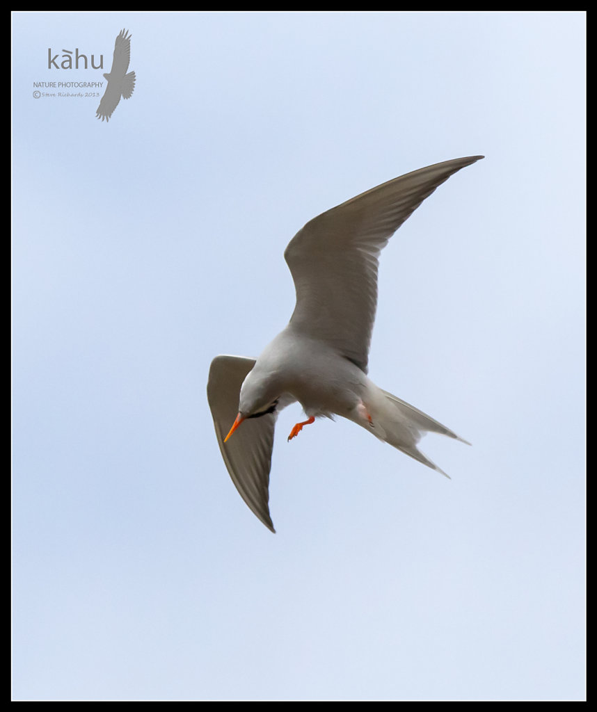 Black Fronted Tern scratches itself in flight   SB148
