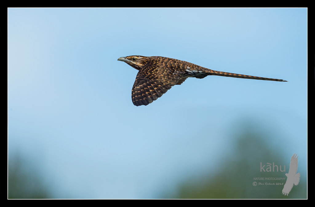 Long Tailed Cuckoo flies by