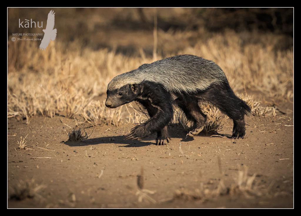 Honey-Badger2.jpg