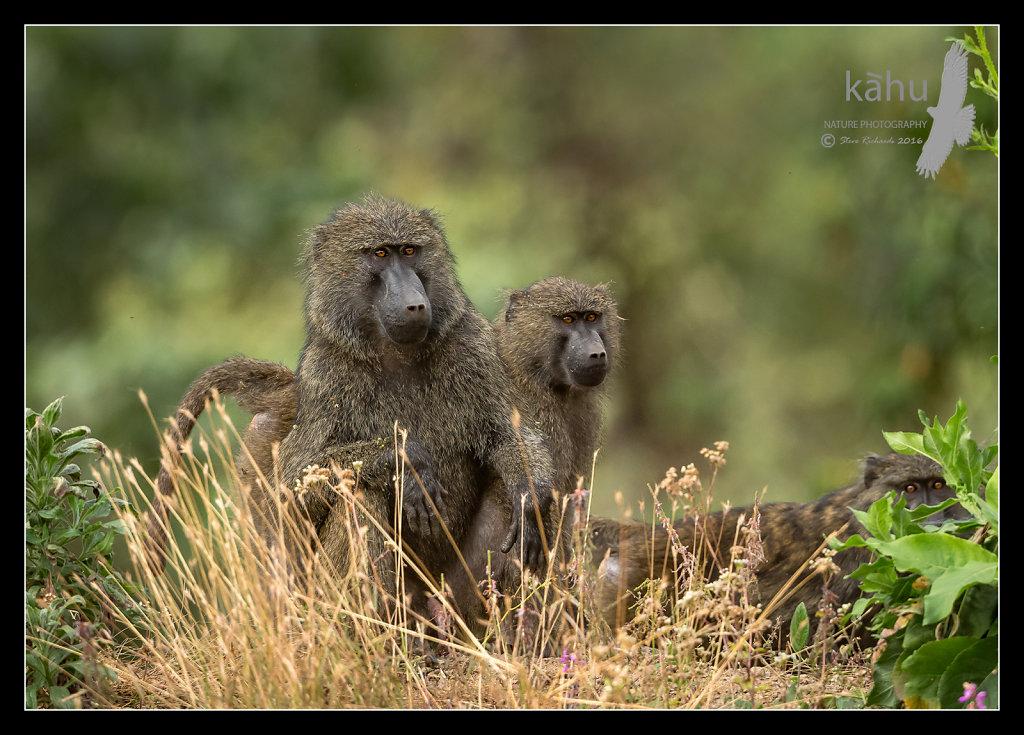 Olive-Baboons.jpg