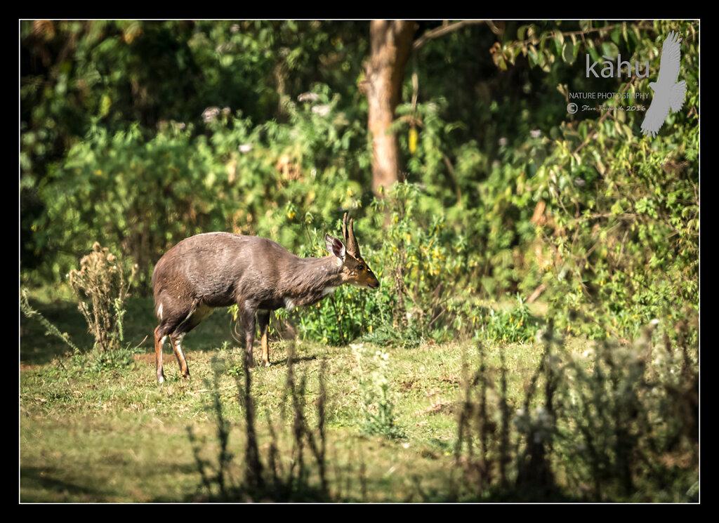Meneliks-Bushbuck.jpg
