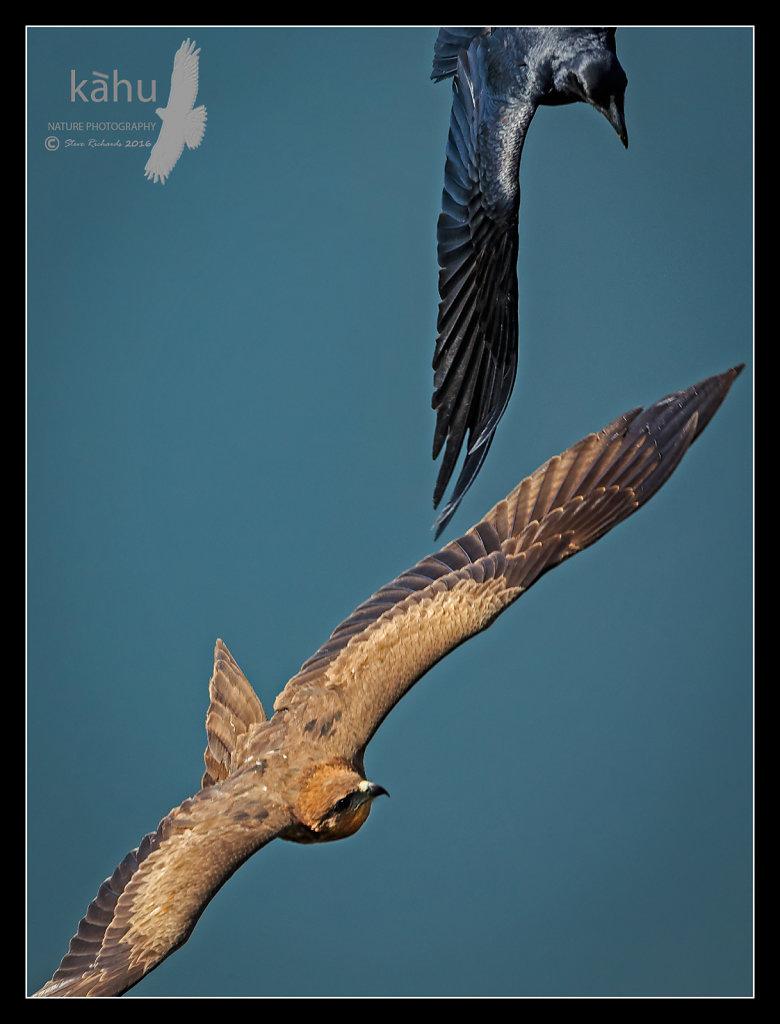 Crow-on-kite.jpg