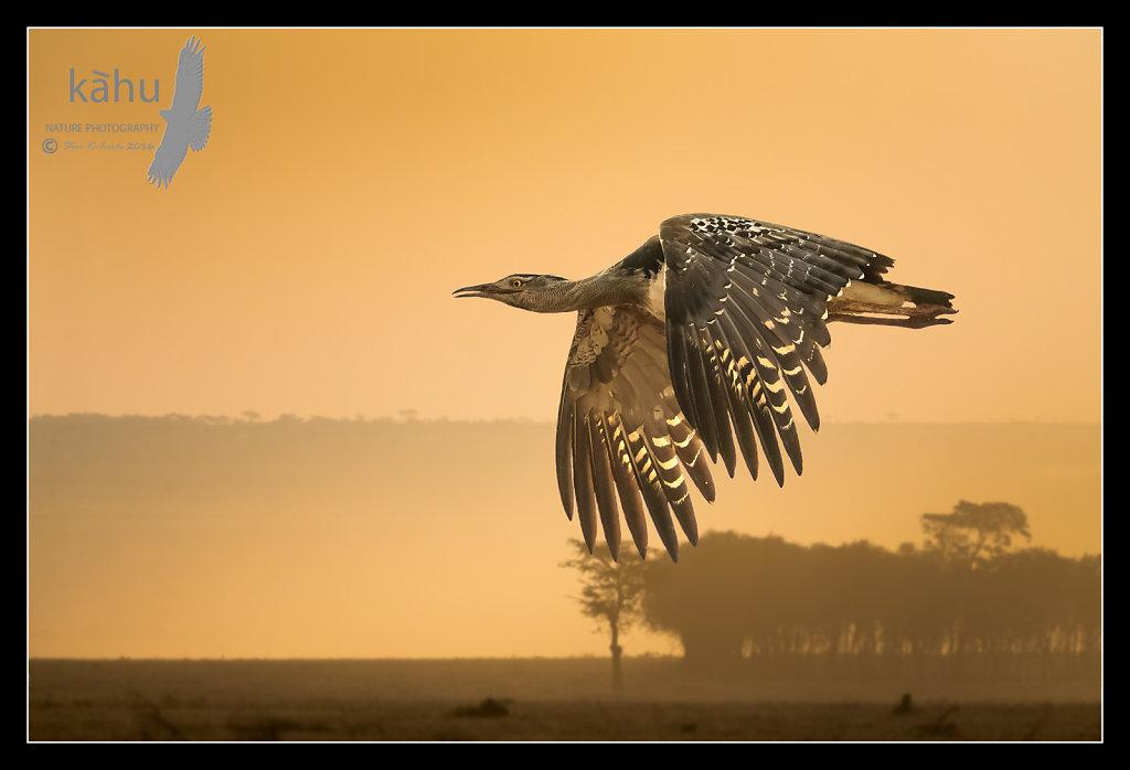 Kori-Bustard-early-morning-flight.jpg