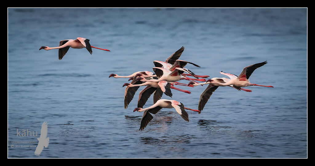 Lesser-Flamingos.jpg