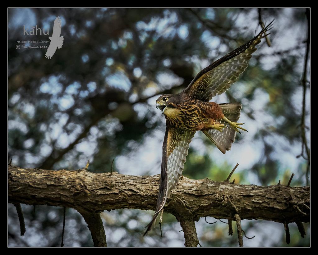 Female Falcon flying through pine trees