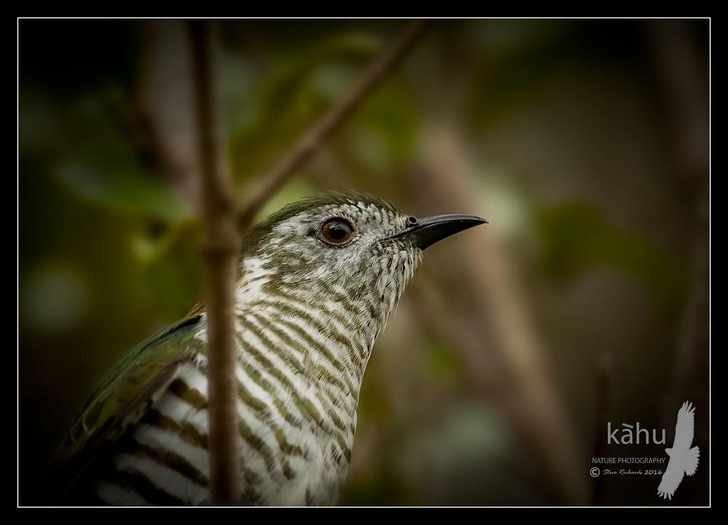 Shining Cuckoo close up