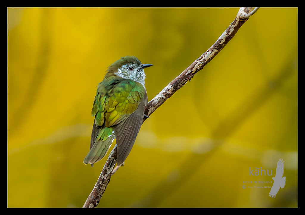 Shining Cuckoo with a background of flowering broom