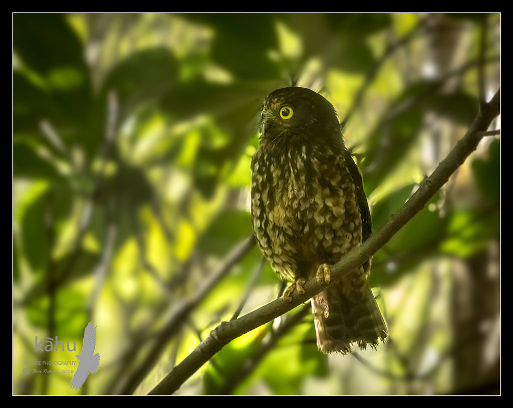 Morepork in the forest