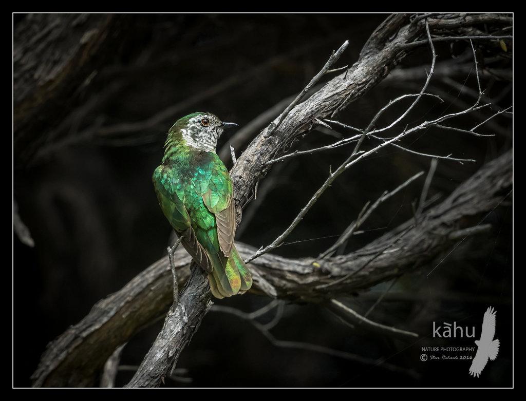 Shining Cuckoo in manuka