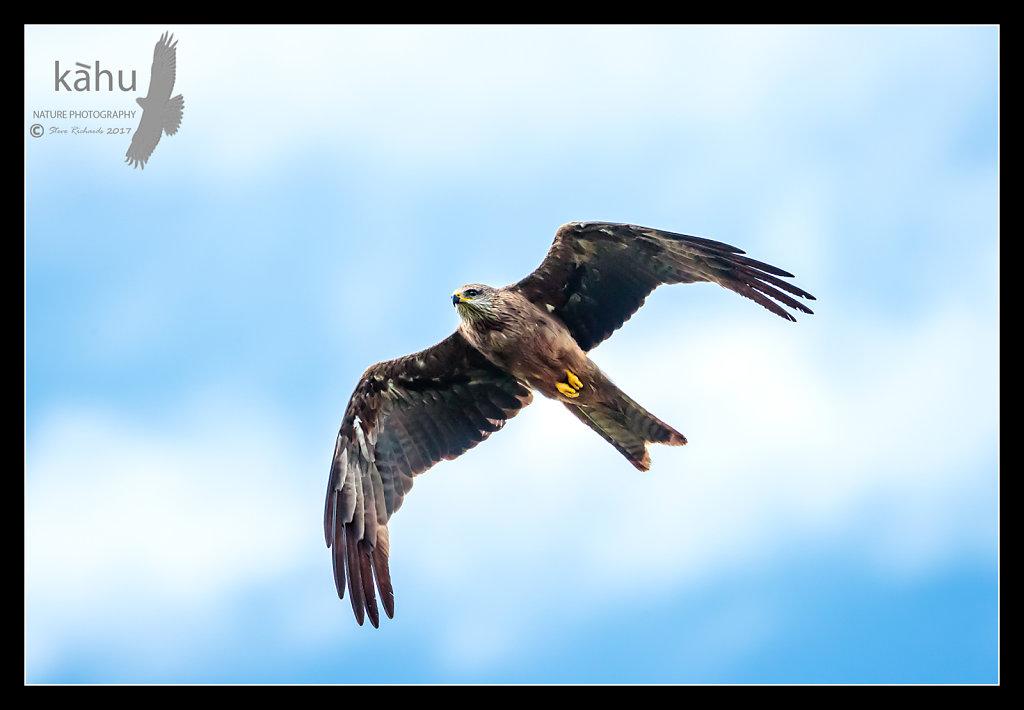 Australian Black Kite in flight