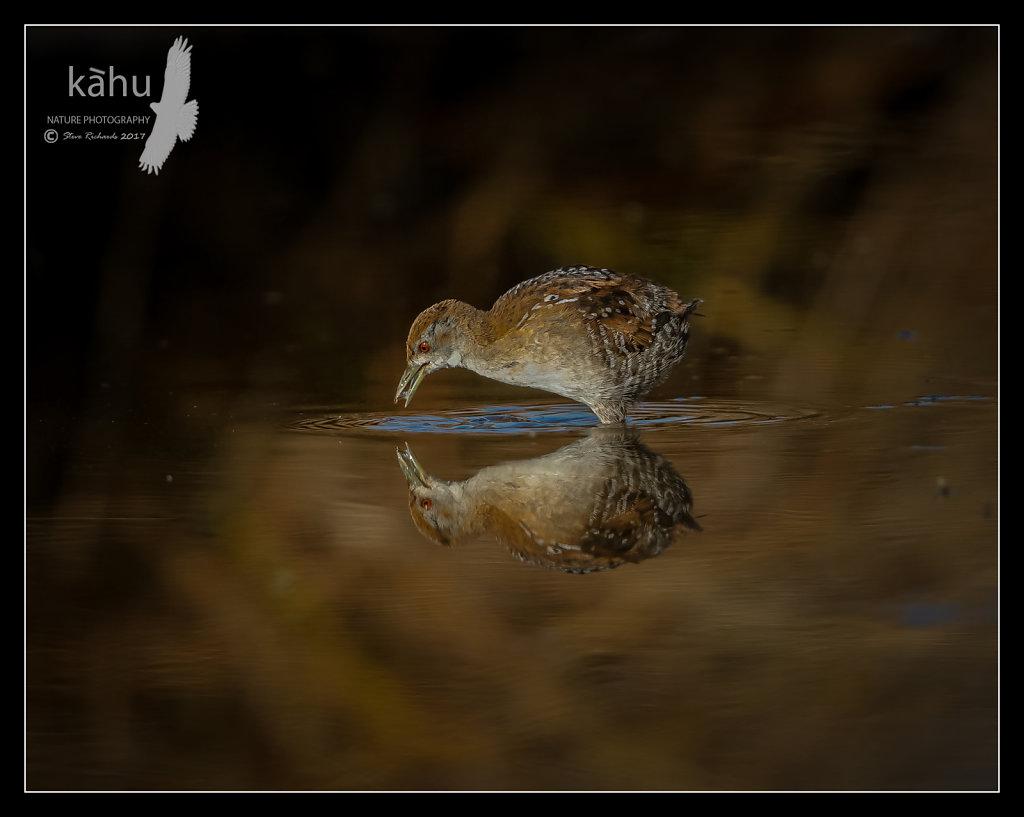 Marsh Crake feeding