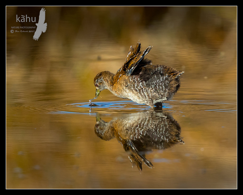 Marsh Crake misses an insect