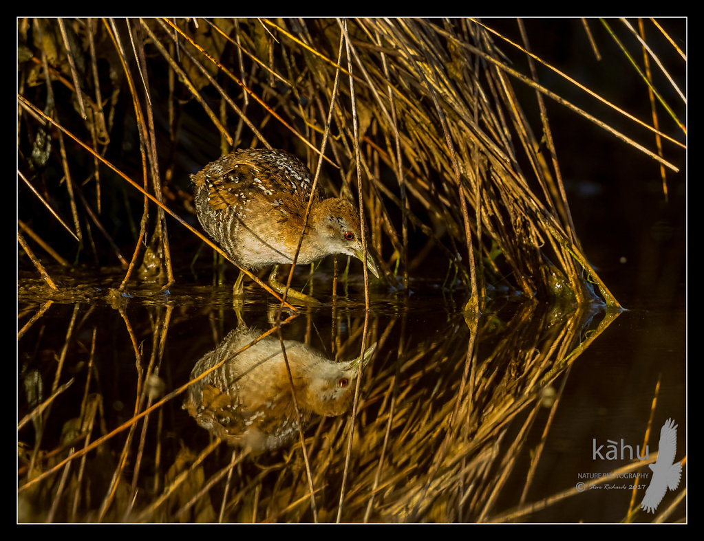 Marsh Crake searching for food on the edge of a pond