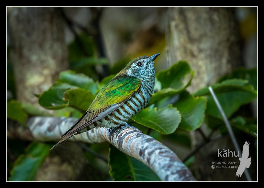 Shining Cuckoo looking for bugs