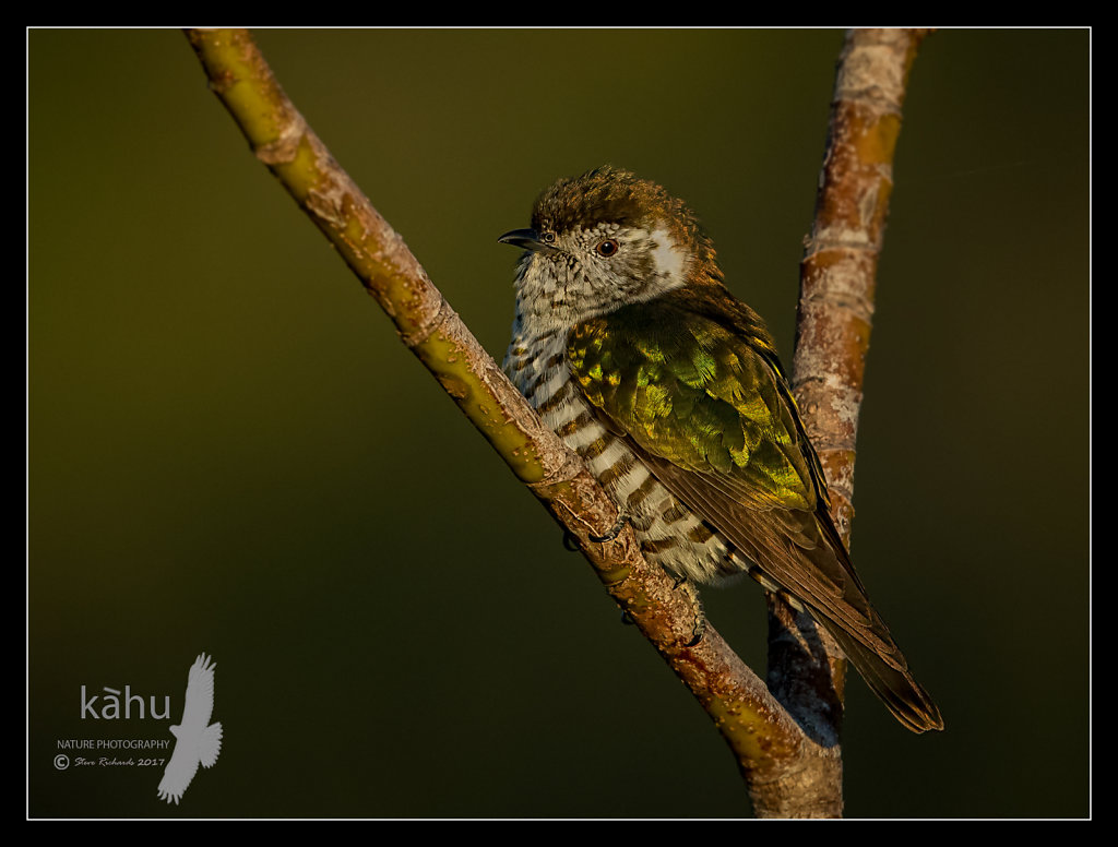 Shining Cuckoo in the late evening light