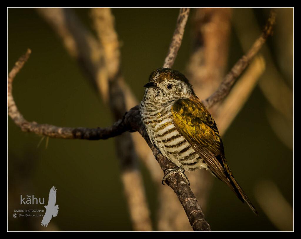 Shining Cuckoo in the golden light