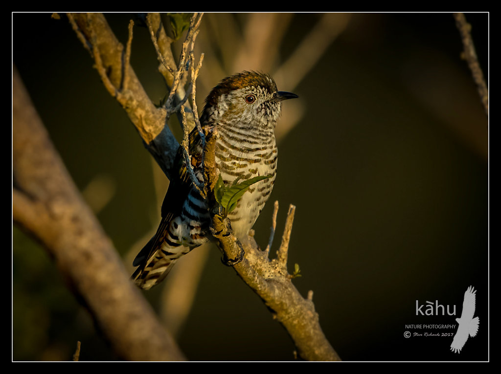 Shining Cuckoo surveying the area during early evening