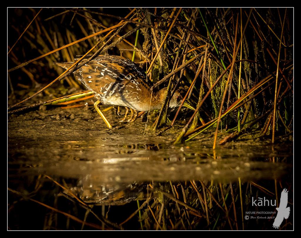 Marsh Crake  sneaks through the vegetation