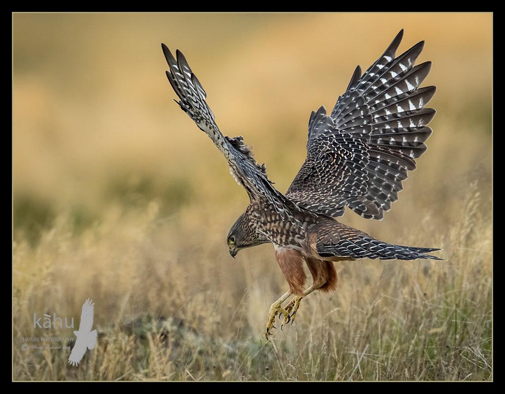 Male falcon hunting prey in the grass, Otago