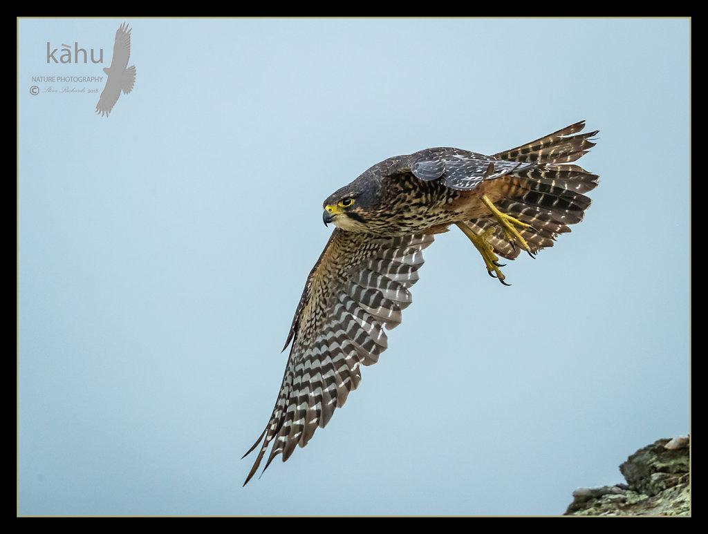 Female Falcon Poolburn Central Otago