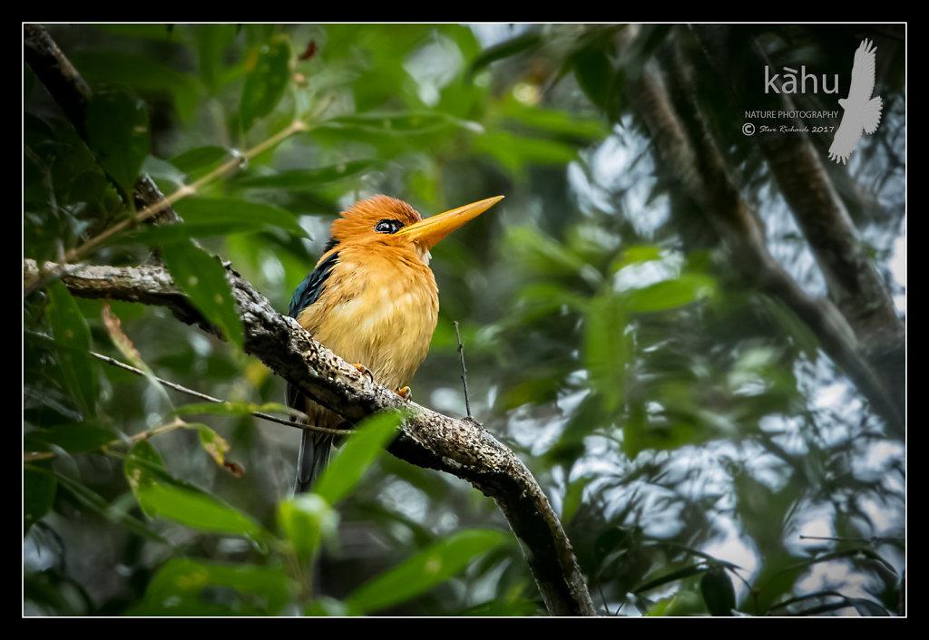 Yellow-Billed-Kingfisher.jpg