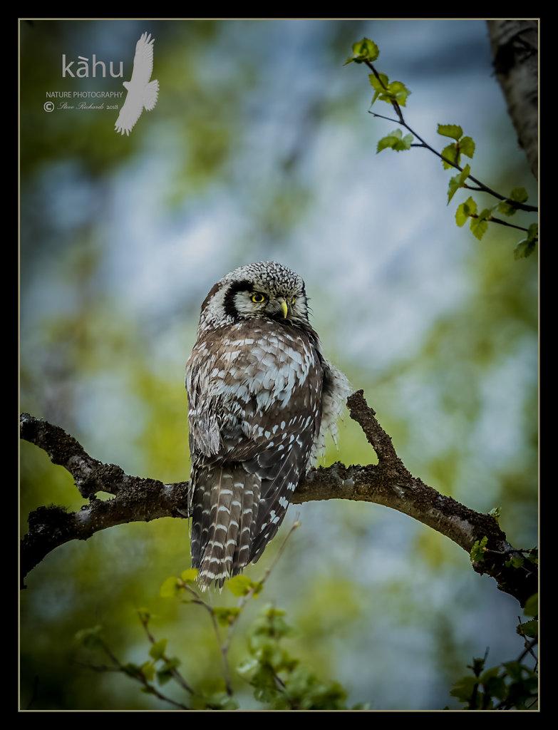 HawkOwl.jpg
