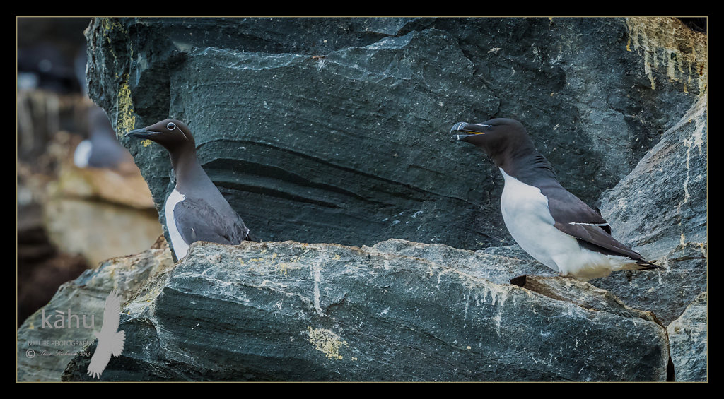 Razorbill-and-CG.jpg