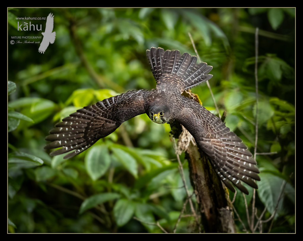Falcon flys down to its nest