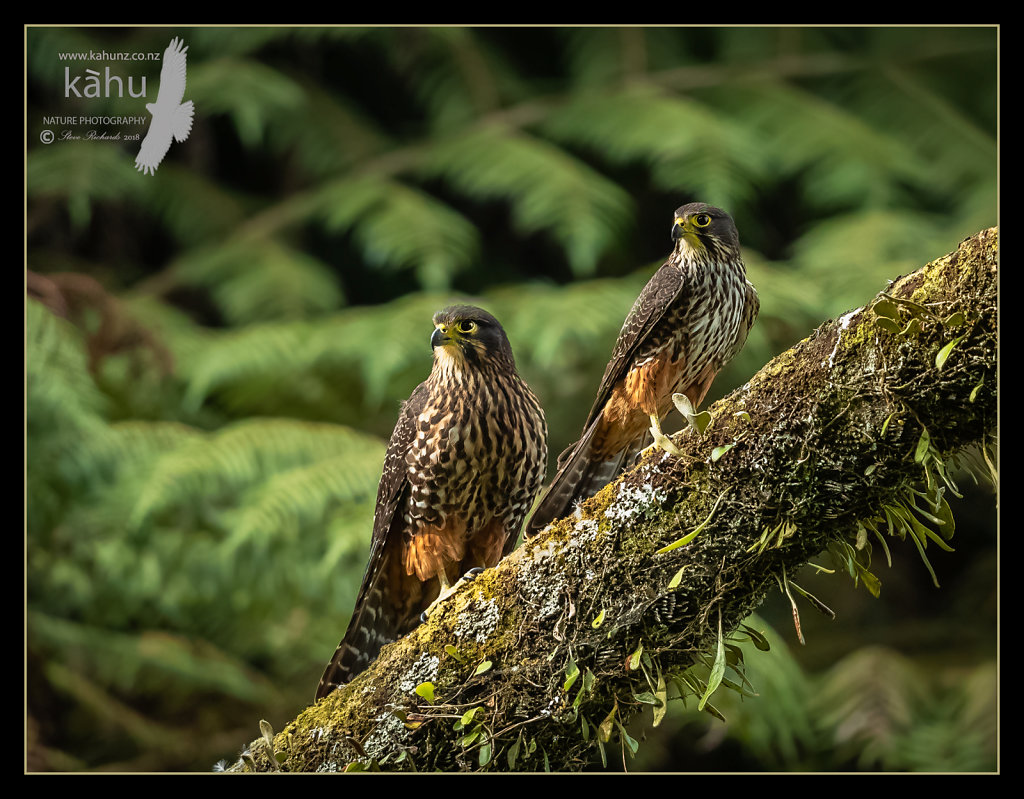 Pair of falcons sunning themsevles